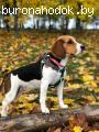 Потерялась собака породы бигль